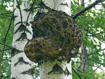 Лечение псориаза грибами Веселка Чайный